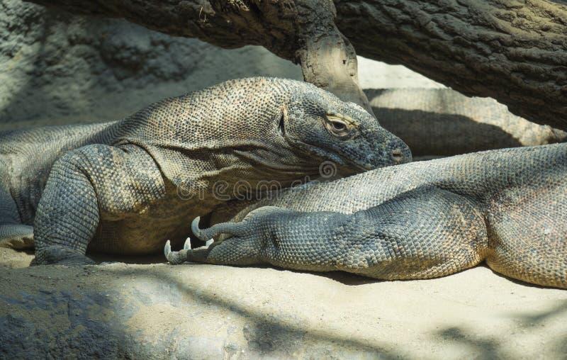 Portrait haut étroit du repos menteur d'anf de dragon de Komodo Le komodoensis de Varanus également connu sous le nom de moniteur photographie stock