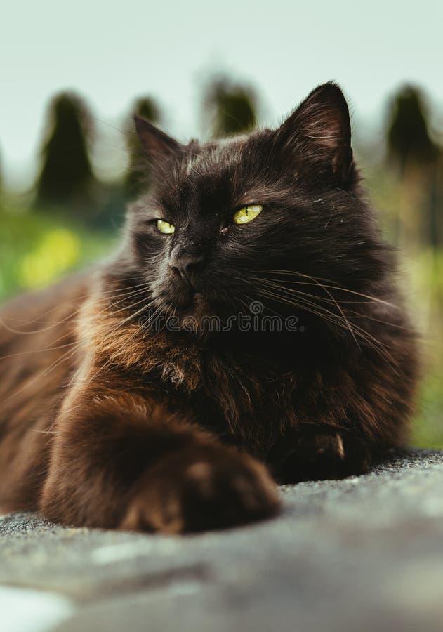 Portrait haut ?troit de chat Chantilly Tiffany se reposant et d?tendant sur le mur - jour ensoleill? Chat noir fonc? avec de gran images stock
