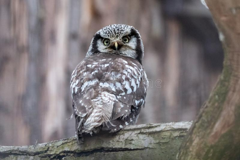 Portrait of hawk-owl sitting on a thick tree branch. Northern hawk-owl Surnia ulula looking over its shoulder. Brown bird of prey with white spots and yellow royalty free stock photos