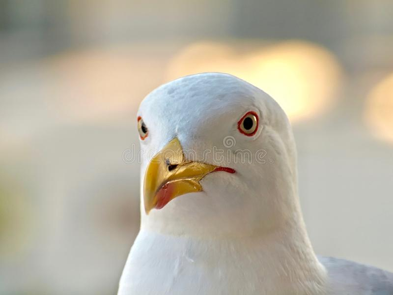 Portrait of an adult seagull head stock photography