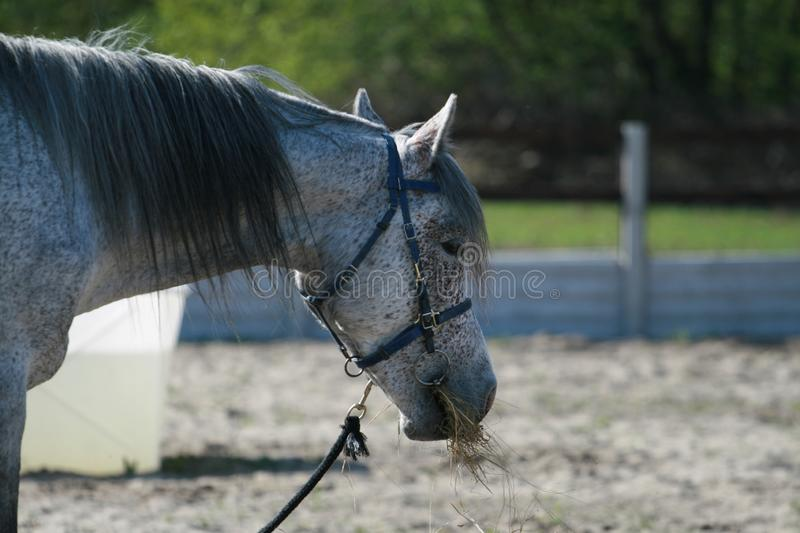 Portrait of the head of an Arab horse gray in buckwheat at endurance competitions. Stallion chews hay in a biotan bridle halter stock photography