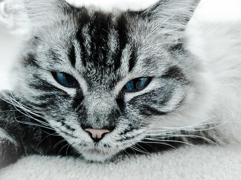 Portrait head closeup. Pedigree Ragdoll Seal point lynx. royalty free stock photography