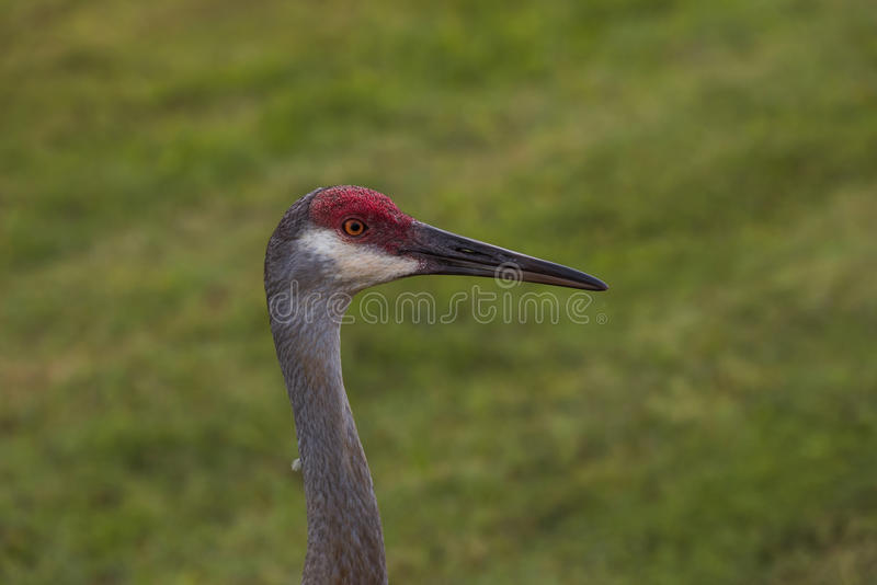 Portrait of head of sandhill crane royalty free stock images