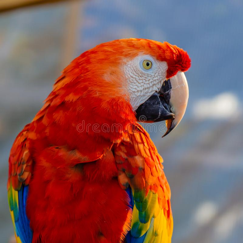 Portrait of the head of scarlet macaw Parrot stock photography