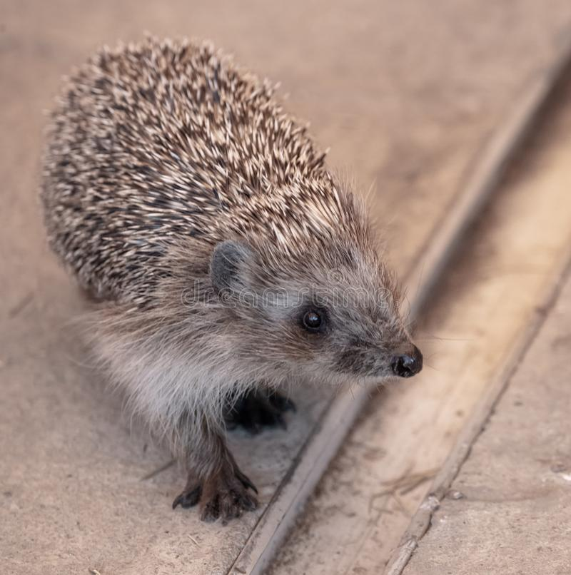 Portrait of a hedgehog in a zoo.  stock images
