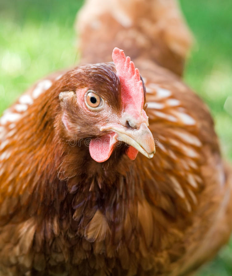 Portrait of a hen staring one-eyed royalty free stock images