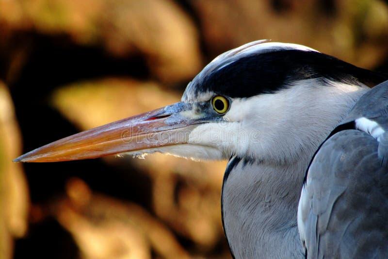 Portrait Of A Heron Free Public Domain Cc0 Image