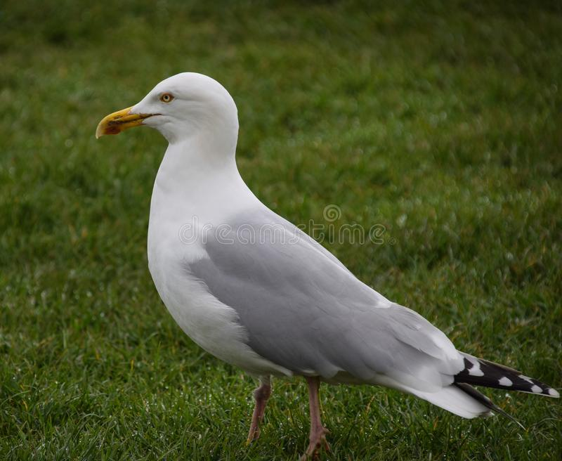 Herring gull portrait. A portrait of a herring gull on grass royalty free stock images