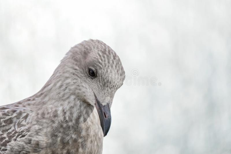 Portrait of a herring gull juvenile royalty free stock photo