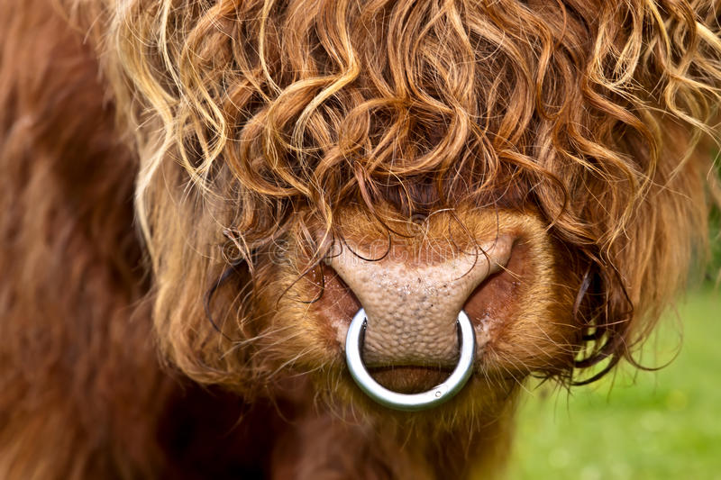 Portrait of an highland cattle, closeup. Portrait of an long haired highland cattle, closeup royalty free stock photo