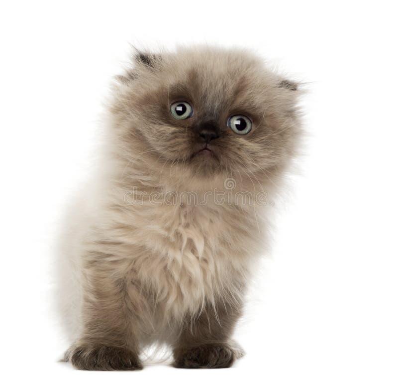 Portrait of Highland fold kitten, 5 weeks old royalty free stock photos