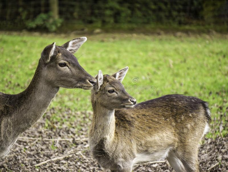 Portrait of a hind and a fawn - cervidae. stock image
