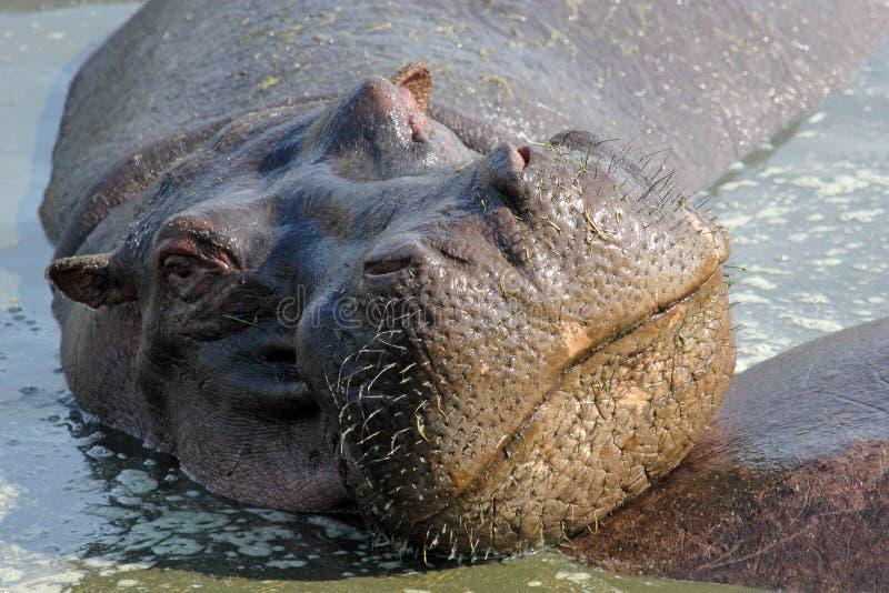Portrait of hippo stock photos