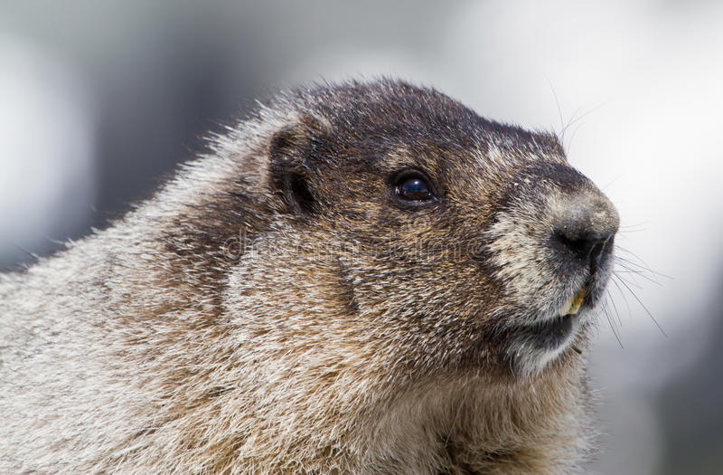 Portrait of a Hoary Marmot. A close up portrait of a Hoary Marmot in the summer months stock photo