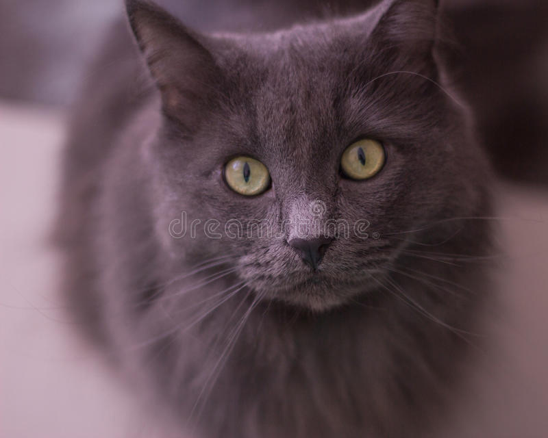 Portrait home grey cat (selective focus) royalty free stock photo