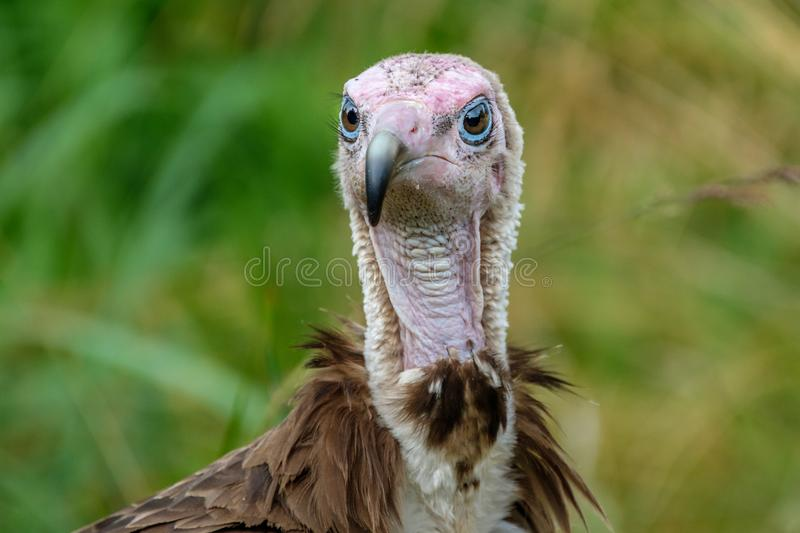Portrait of a Hooded Vulture,. Hooded Vulture, the old world vulture, in the Rotterdam Zoo Blijdorp Zoo, the Netherlands stock photography