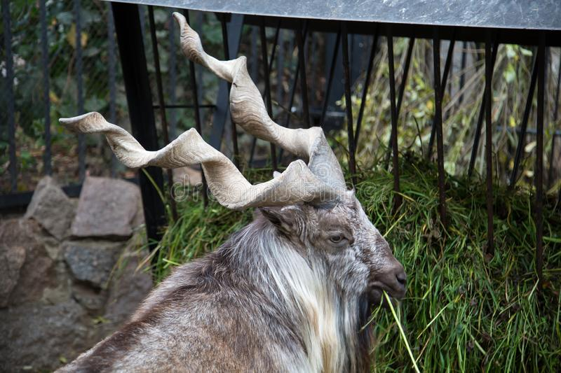 Portrait of a Horned goat, the Markhor, eating the green grass in the trough. Wildlife, mammals stock images