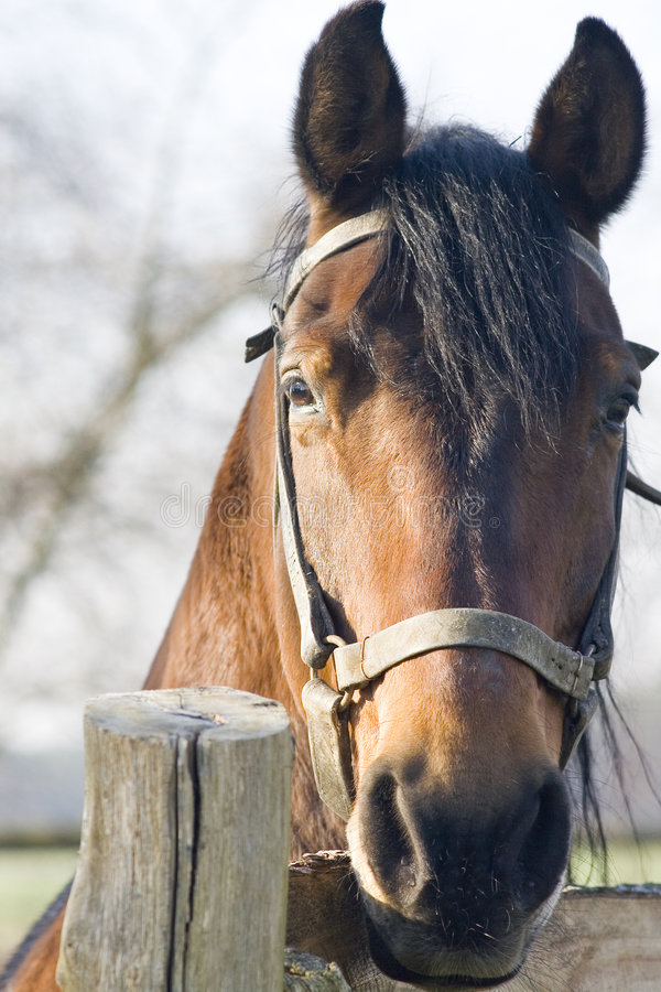 Portrait of horse. Portrait of a polish horse stock photos