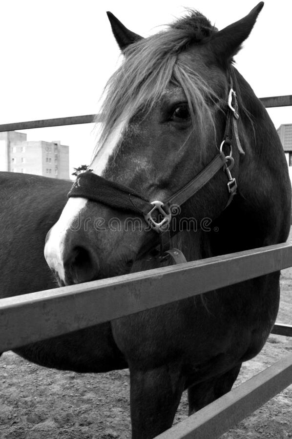 Portrait of a horse royalty free stock photo