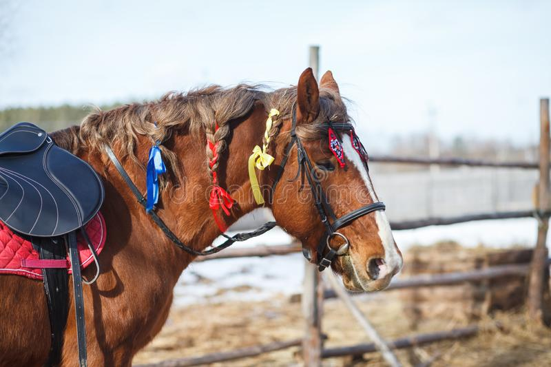 Portrait of a horse decorated with colorful ribbons for a festive performance on the parade ground stock image
