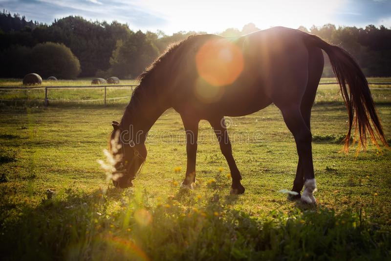 Portrait of a horse grazing. In the sun back-lighting royalty free stock photo