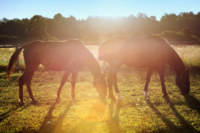 Portrait of a horse grazing. In the sun backlighting stock photos