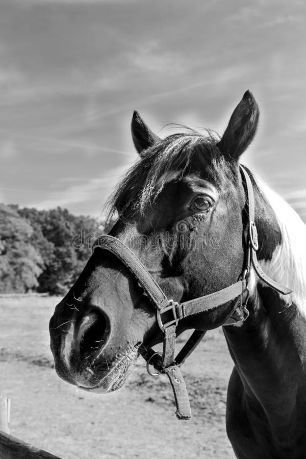 Portrait of a horse`s head in black and white. Black and white image of horse head black and white Pinto royalty free stock image