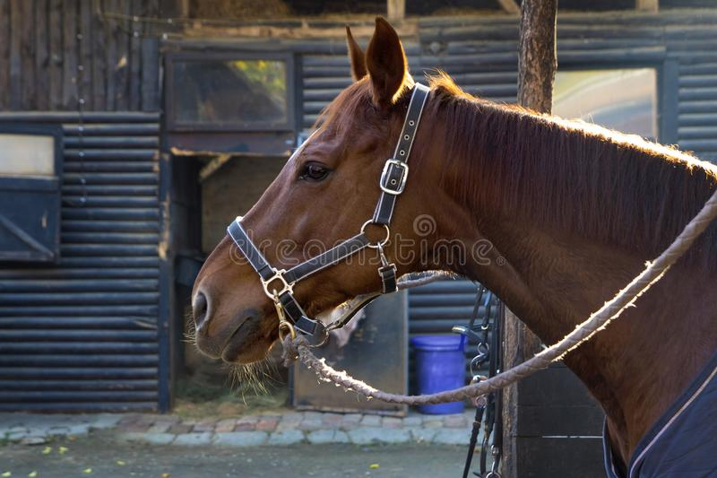 Portrait of horse standing in ranch royalty free stock images