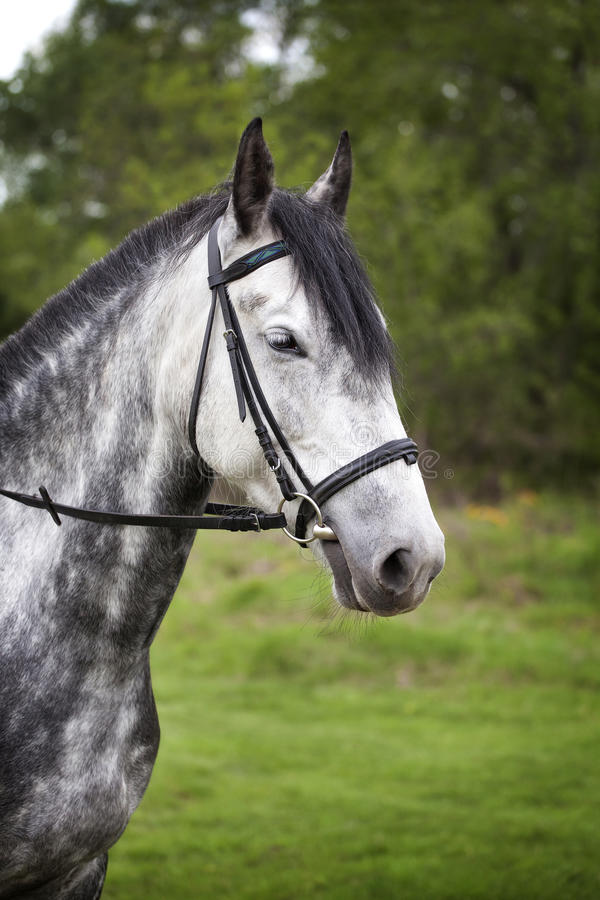 Portrait of a horse on a walk royalty free stock photo