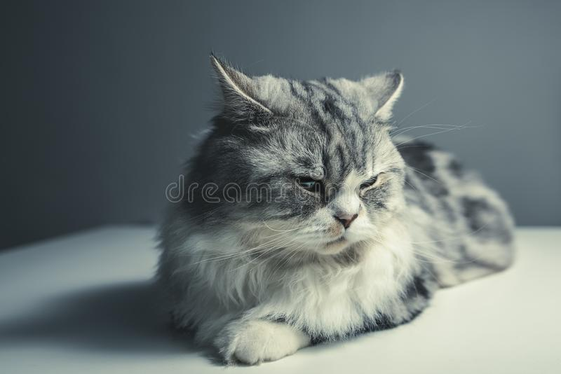 Portrait of a house cat royalty free stock photo
