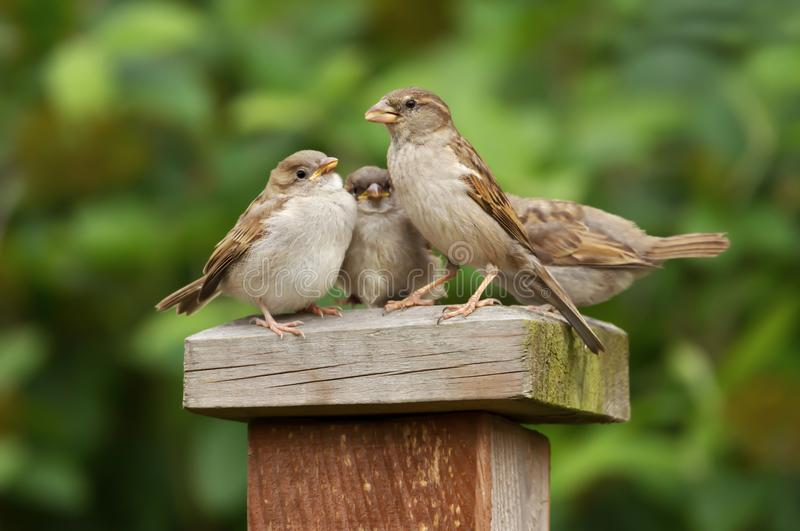 Portrait of a house sparrow female feeding her chicks royalty free stock image