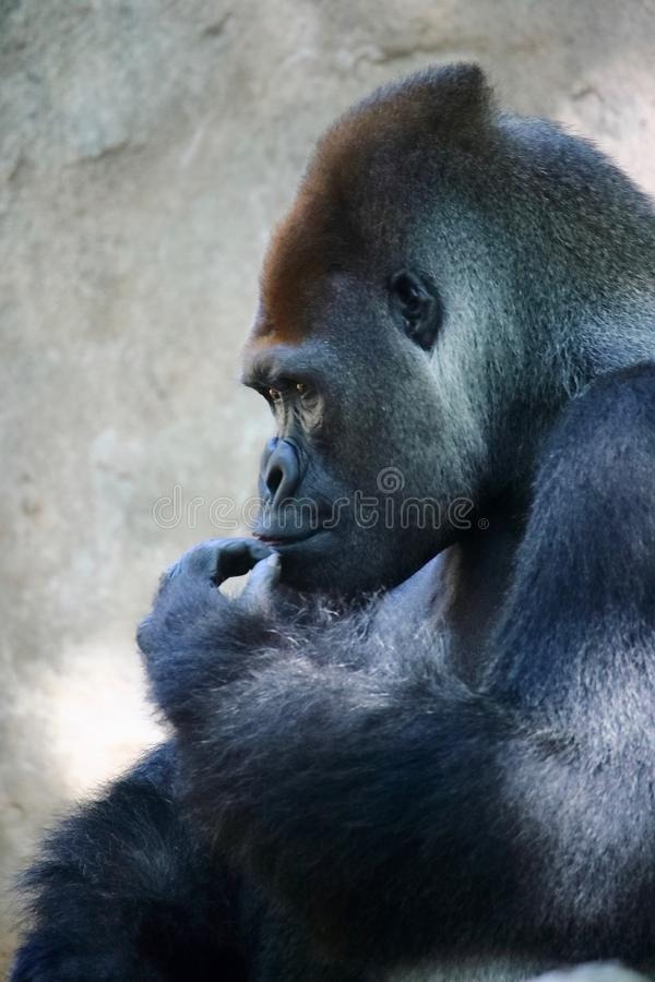 Portrait of a huge silverback gorilla. This amazing primate can only be found in Rwanda and Uganda, national nature reserves stock photo