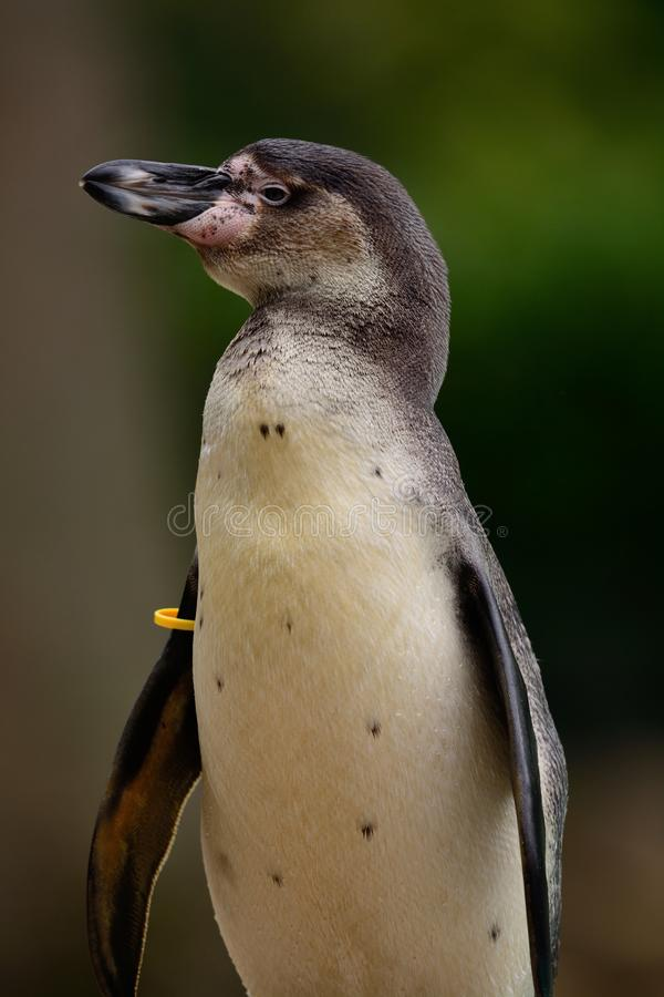 Humboldt penguin spheniscus humboldti royalty free stock images
