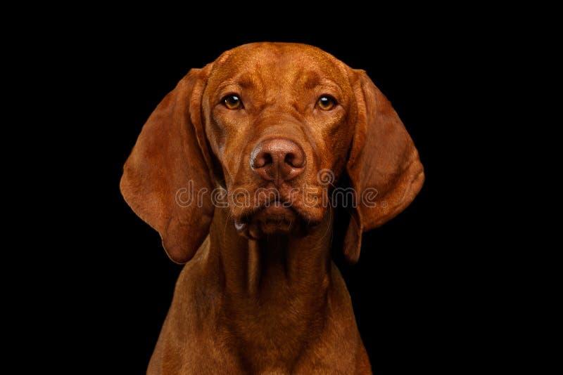 Portrait of Hungarian Vizsla Dog on isolated black background. Close-up Portrait of Hungarian Vizsla Dog Serious looking in camera on isolated black background stock photo