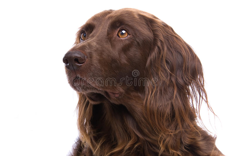 Download Portrait of hunting dog stock image. Image of retriever - 10760745