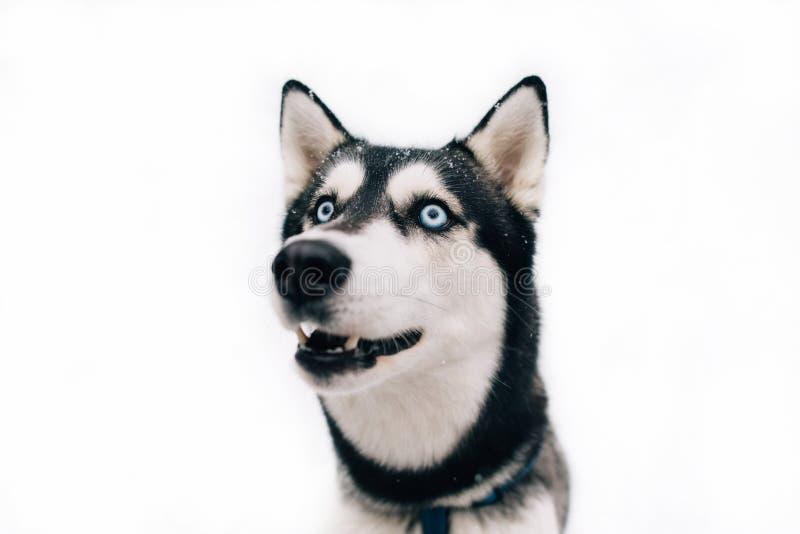 Portrait of Husky dog on isolated background stock photo