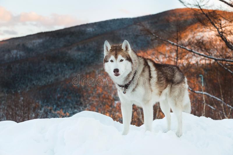 Portrait of Husky dog standing in the winter forest at sunset on the snow on mountain background. Portrait of gorgeous siberian Husky dog standing in winter royalty free stock photos