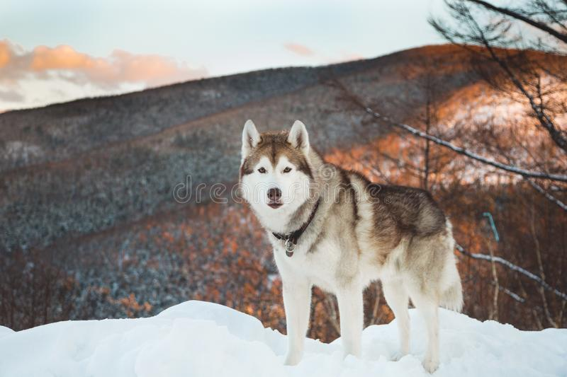 Portrait of Husky dog standing in the winter forest at sunset on the snow on mountain background. Portrait of gorgeous siberian Husky dog standing in winter royalty free stock images