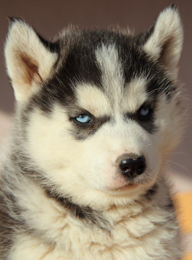 Portrait of husky puppy royalty free stock photos
