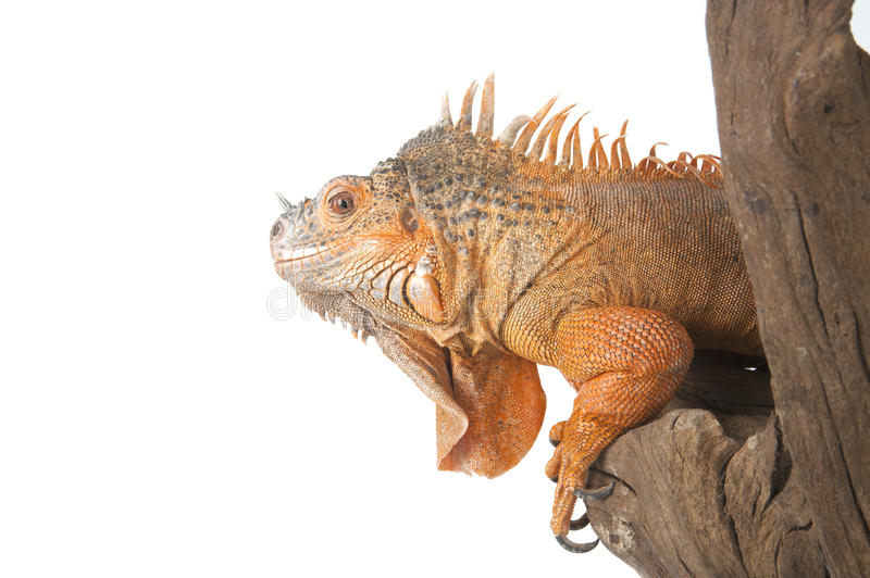 Portrait of the Iguana ordinary (red morph), which sits on the d stock photo