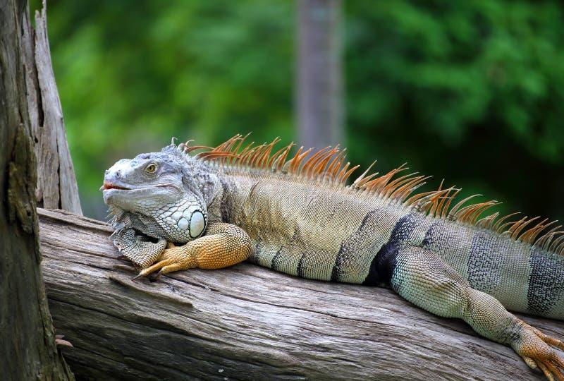 Download Portrait of iguana stock photo. Image of vertebrate, reptile - 32234078