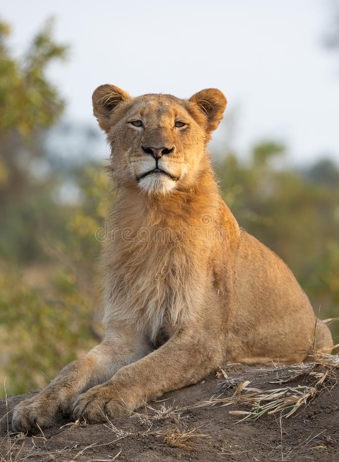 Portrait image of a young male lion with an upright posture royalty free stock image