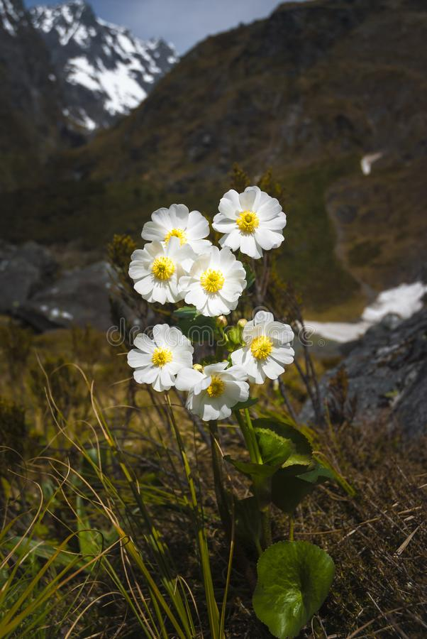 Mount Cook Lily. A portrait imgae of the Mount Cook Lily, Ranunculus lyallii, with the New Zealand Fijordland as a backdrop stock photos