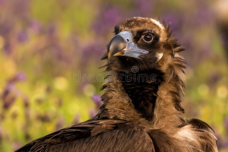 A portrait of impressive juvenile Cinereous vulture Aegypius monachus from region Castile and León in Spain. royalty free stock photo