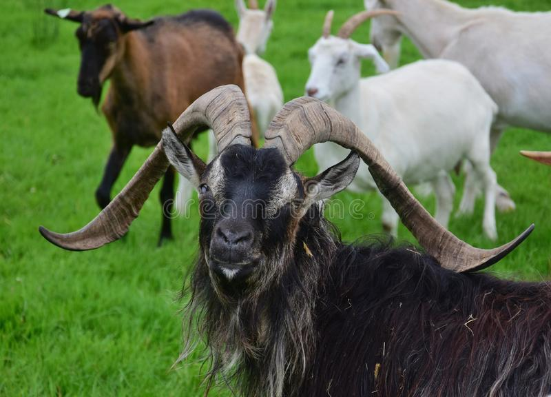 Portrait of an impressive male goat, one eye blind. Ireland stock photo