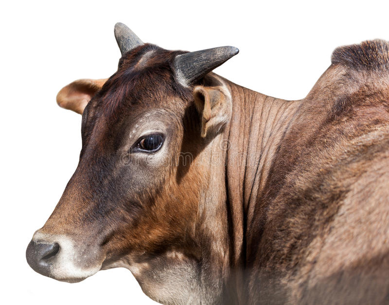 Portrait of Indian cows, isolated stock photography