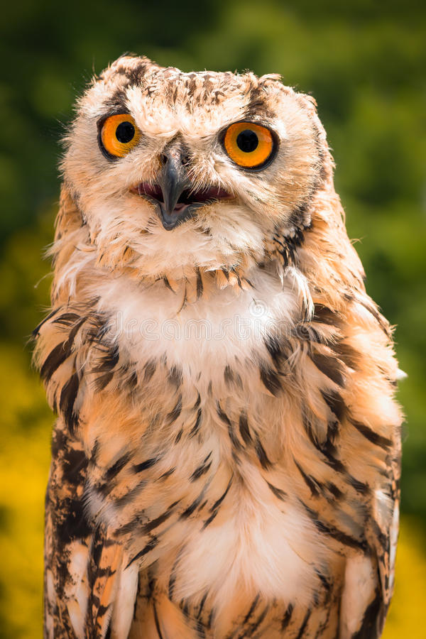 Portrait Of Indian Eagle Owl. A tame Indian Eagle Owl (aka rock eagle owl or Bengal eagle owl) pictured on a background of defocused foliage, his bright orange royalty free stock images