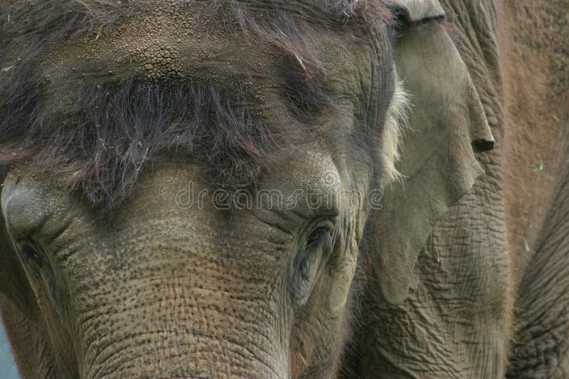 Portrait of an Indian Elephant stock photo