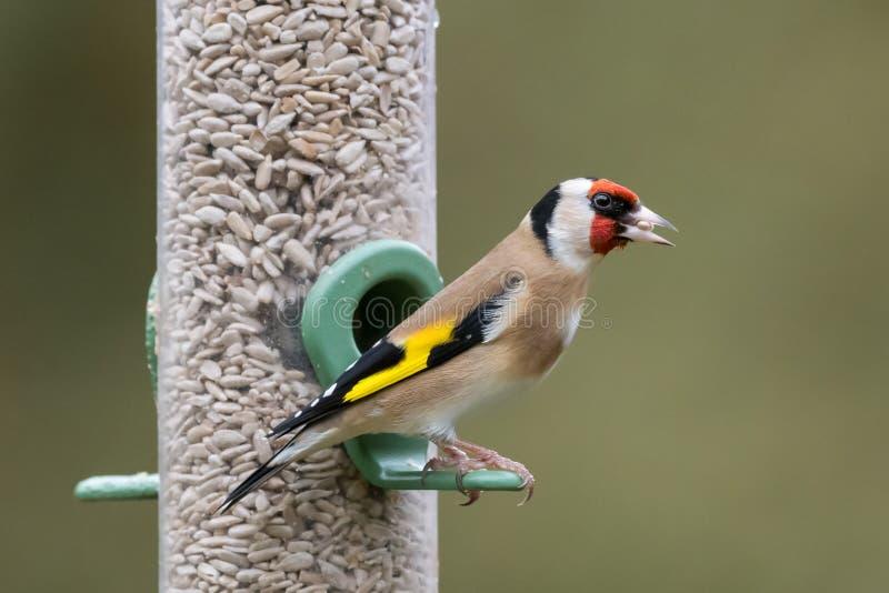 Portrait individuel de Goldfinch Feeder images stock