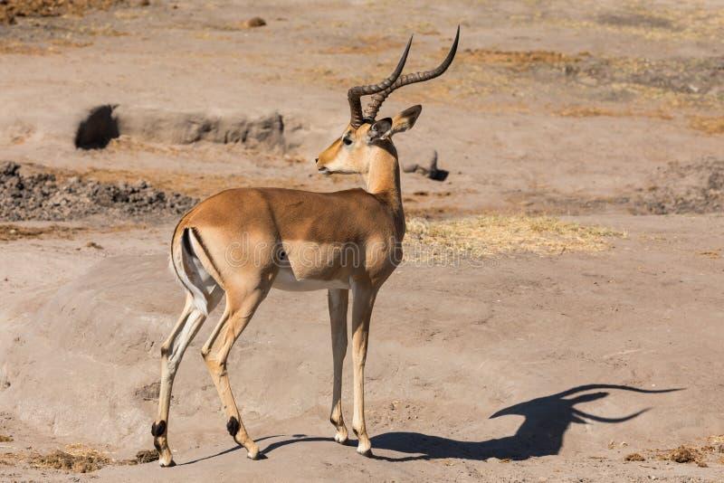 Portrait intégral de l'impala masculin